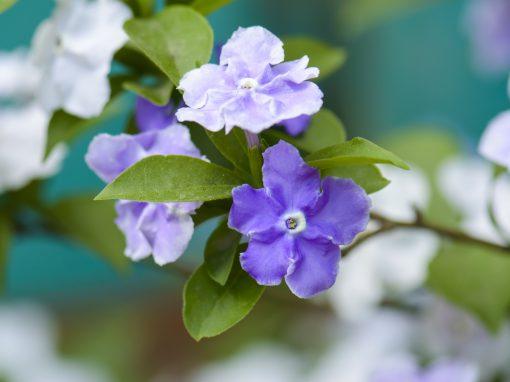 Gėlės nuotrauka. (Pavadinimas: Brunfelsija)