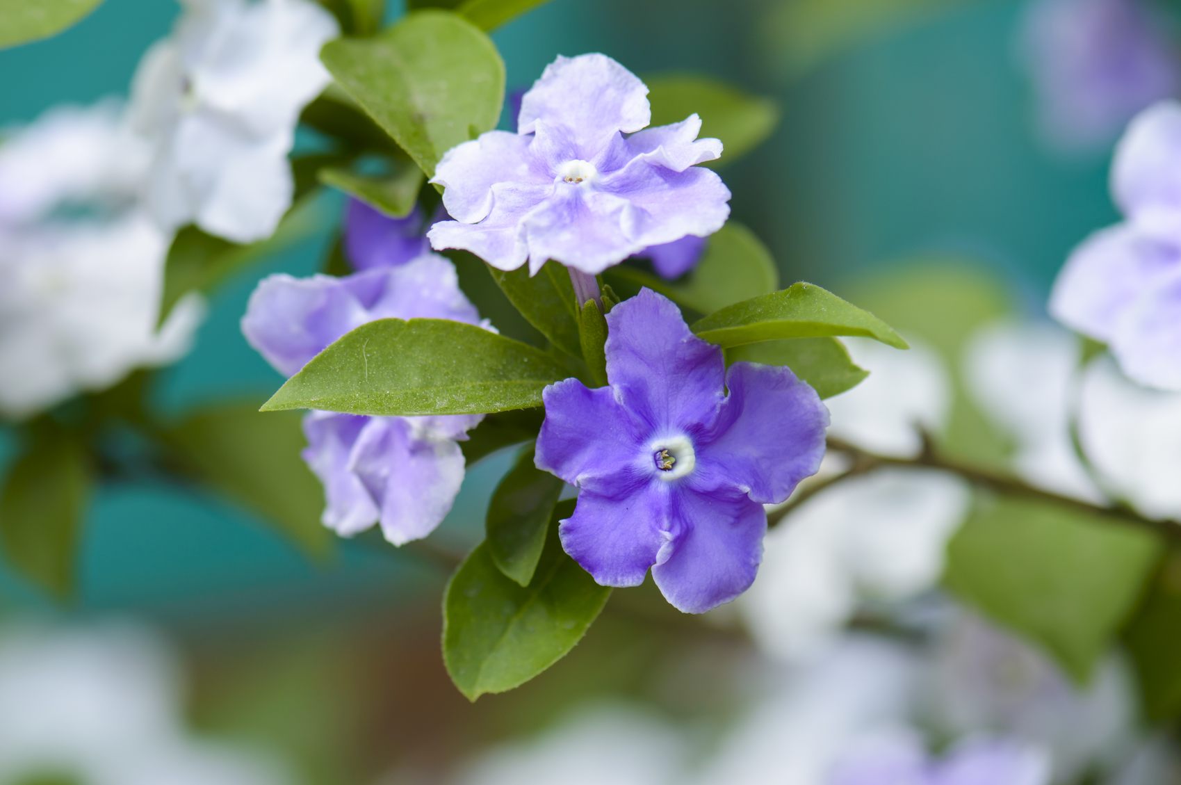 Gėlė Brunfelsija