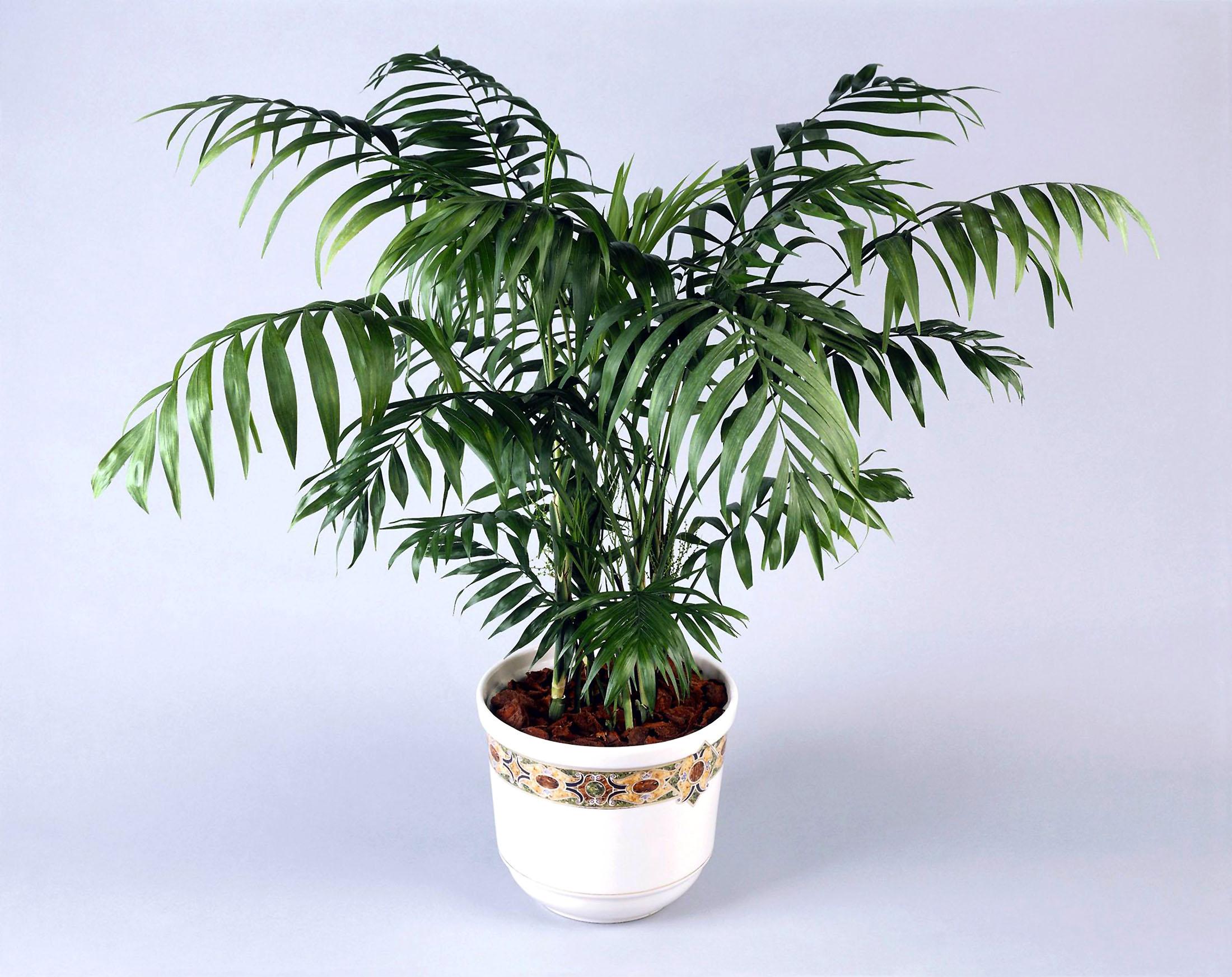 Palmė chamedorėja
