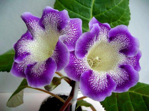 Gėlės nuotrauka. (Pavadinimas: Dailioji Siningija)
