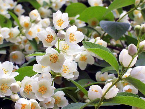 Gėlės nuotrauka. (Pavadinimas: Darželinis jazminas)