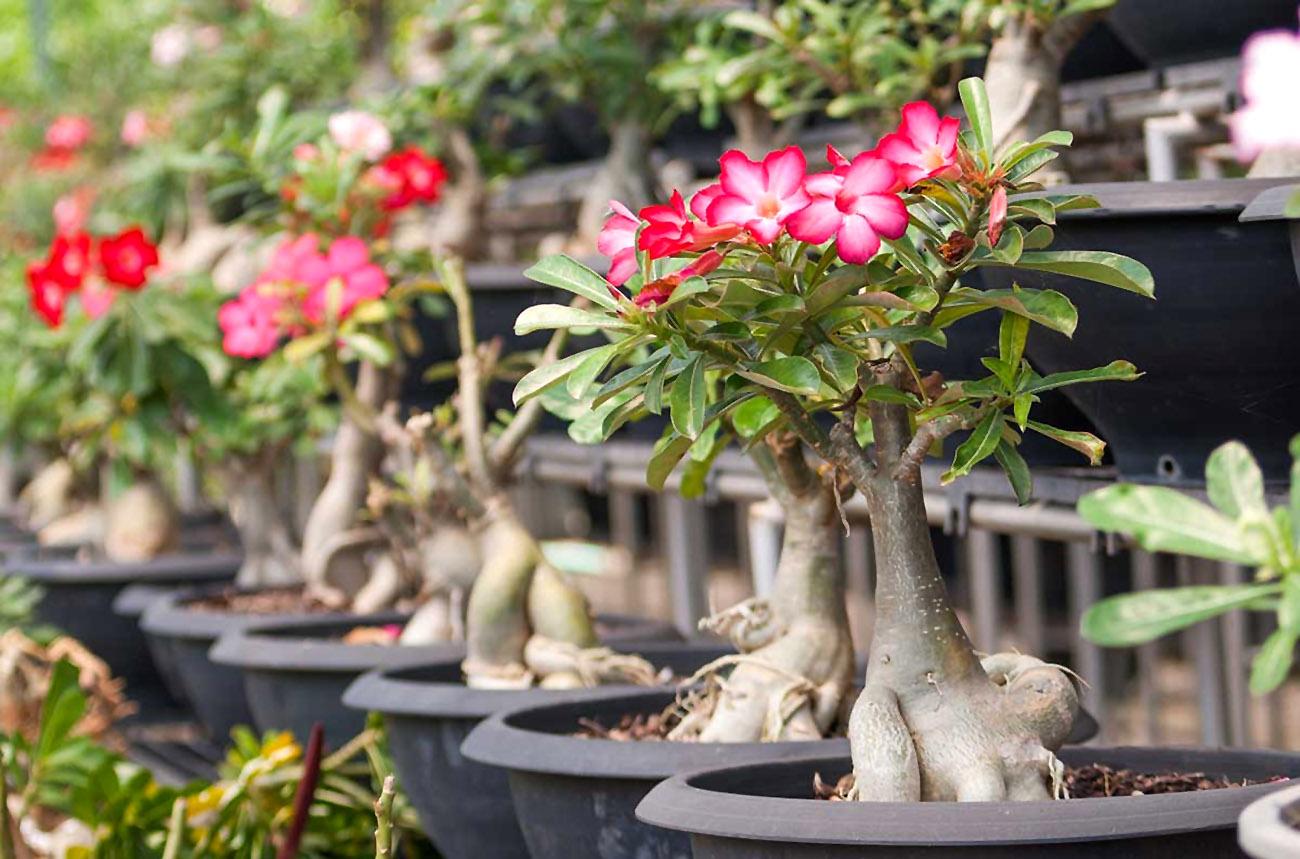 Gėlė dykumos rožė (Tinūtras)