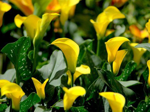 Gėlės nuotrauka. (Pavadinimas: Elioto Kalija)