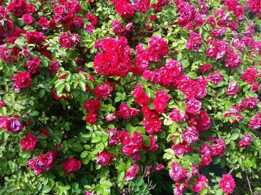 Gėlės nuotrauka. (Pavadinimas: Erškėtrožė)