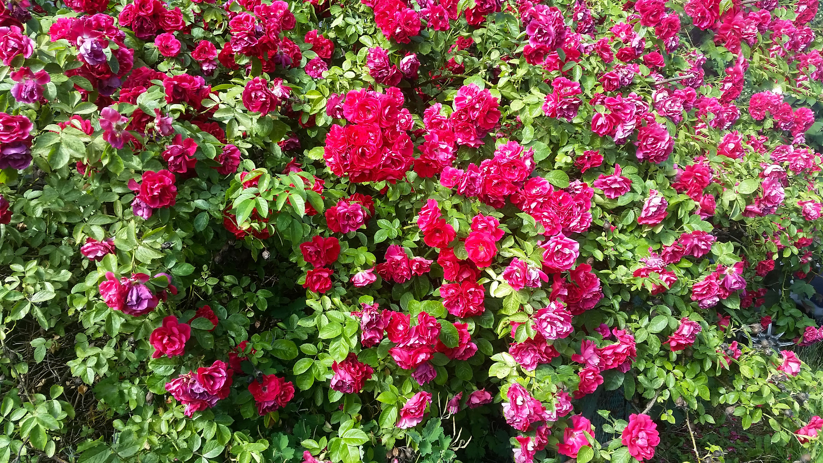 Gėlė Erškėtrožė