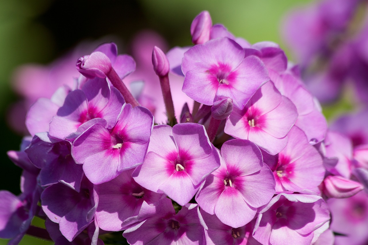 Gėlė Flioksai