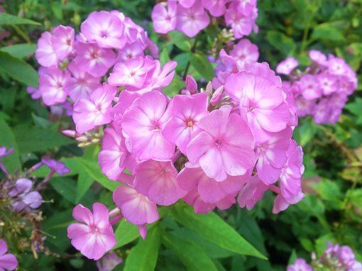 Gėlės nuotrauka. (Pavadinimas: Flioksas)