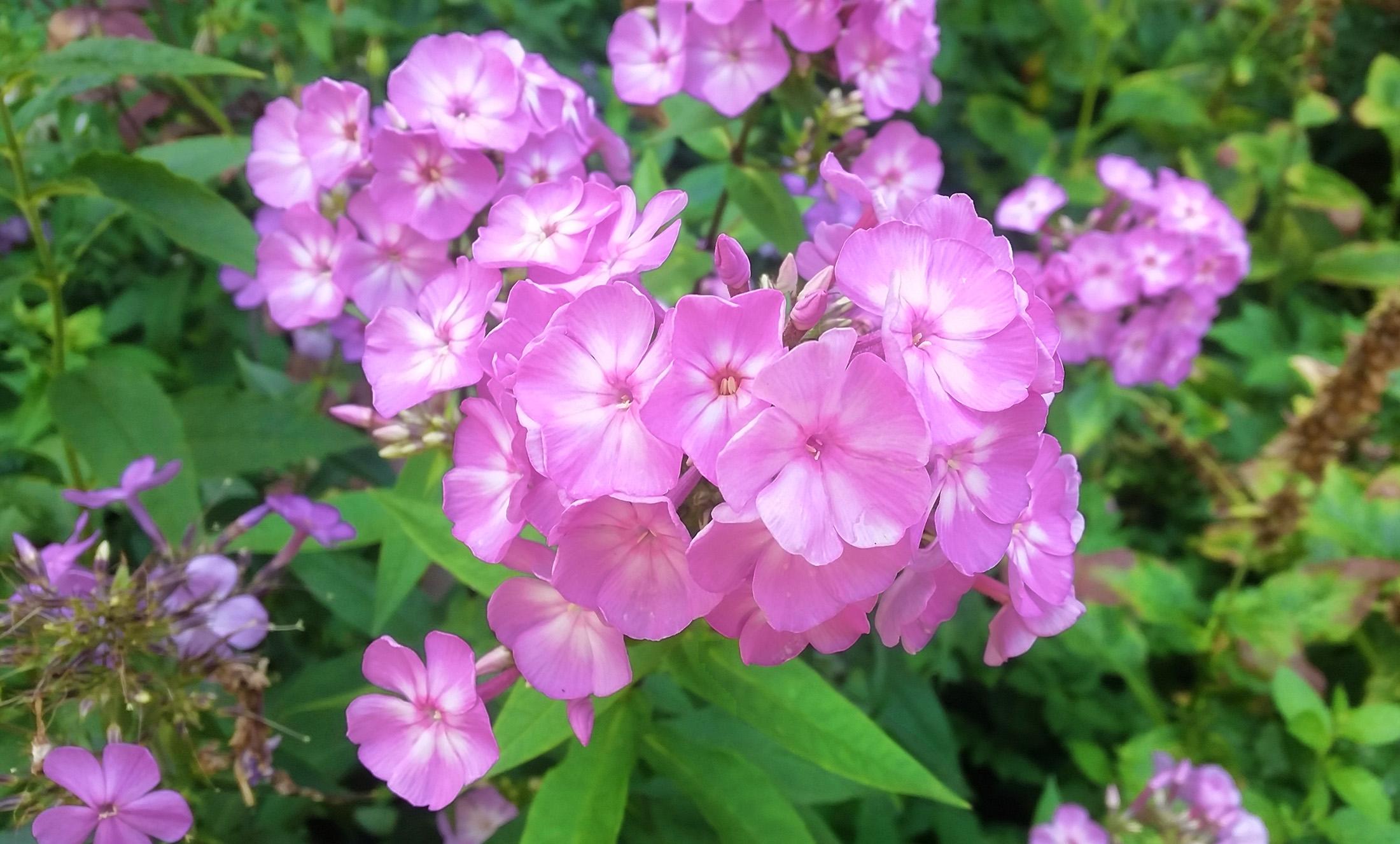 Gėlė Flioksas