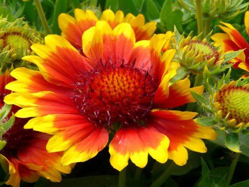 Gėlės nuotrauka. (Pavadinimas: Gaillardia)