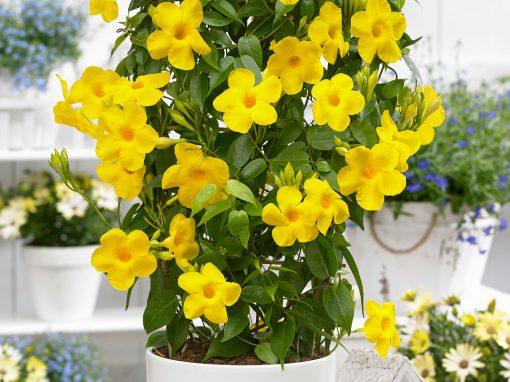 Gėlės nuotrauka. (Pavadinimas: Alamanda)
