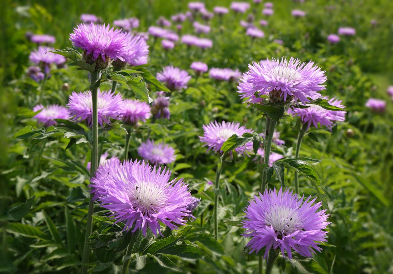 Gėlė bajorė