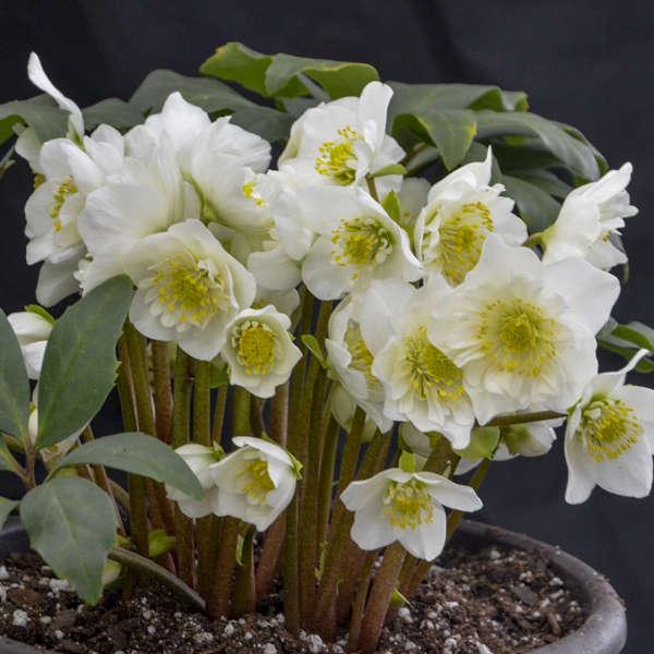 Gėlė Baltažiedis Eleboras