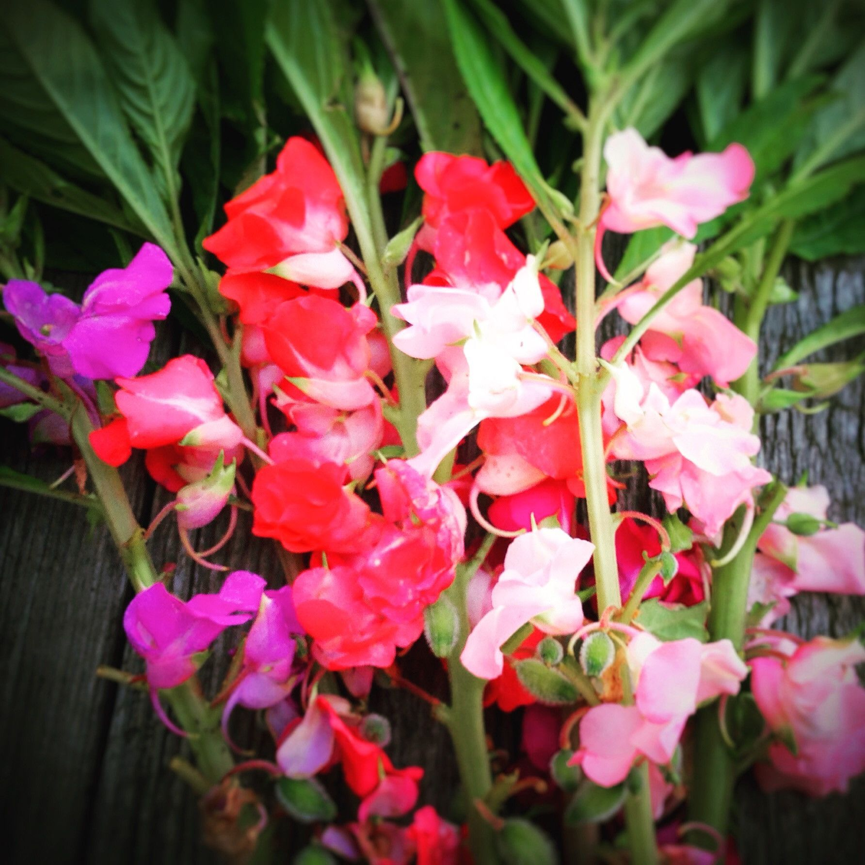 Gėlė Havortia
