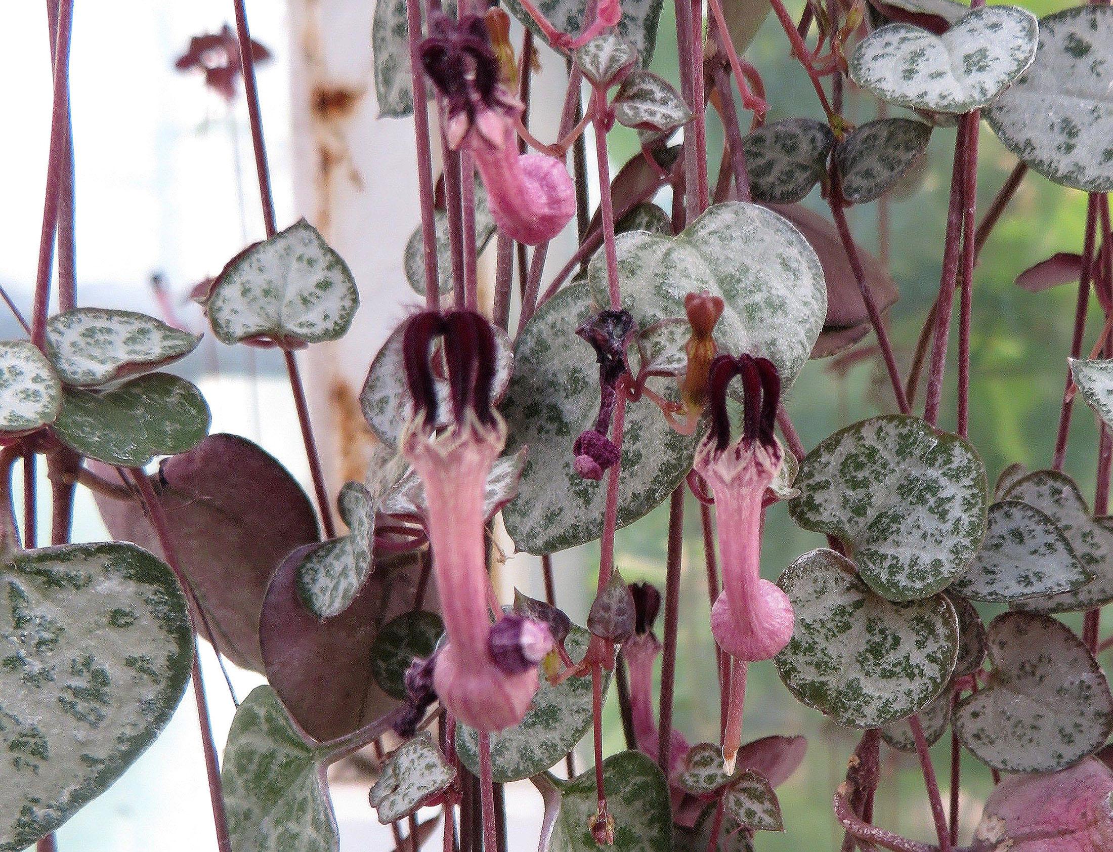 Gėlė Ceropegija