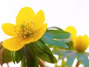 Gėlė Erantis