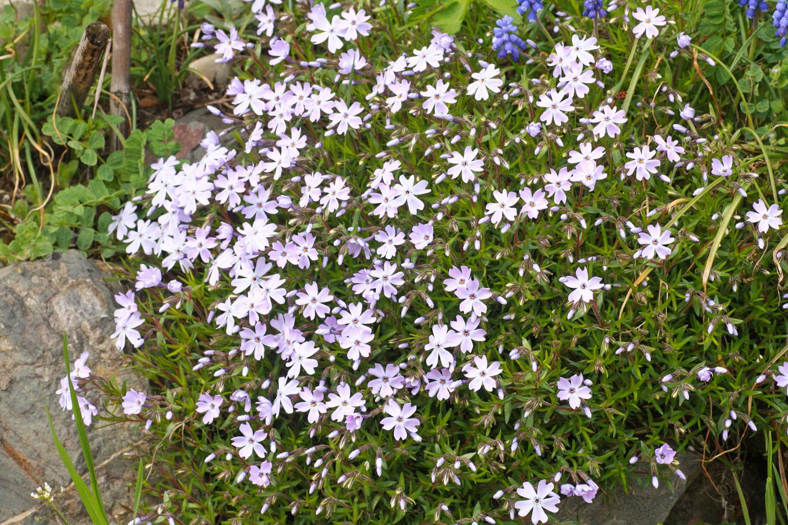 Gėlė flioksas (ylalapis)
