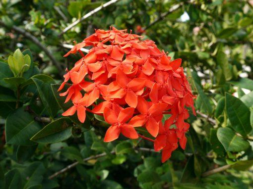Gėlės nuotrauka. (Pavadinimas: Iksora)
