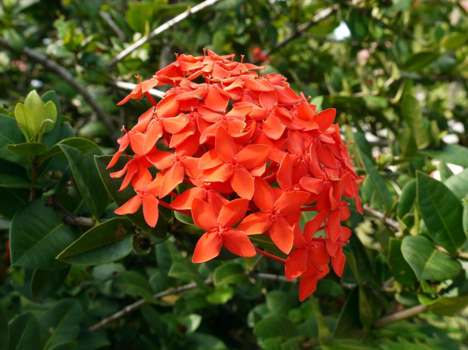 Gėlė Ixora