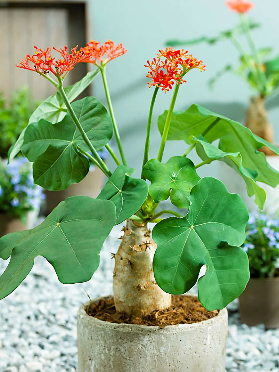 Gėlė Jatrofa