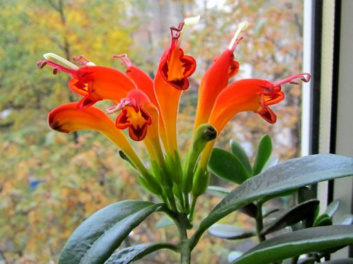 Gėlės nuotrauka. (Pavadinimas: Kolumnėja)