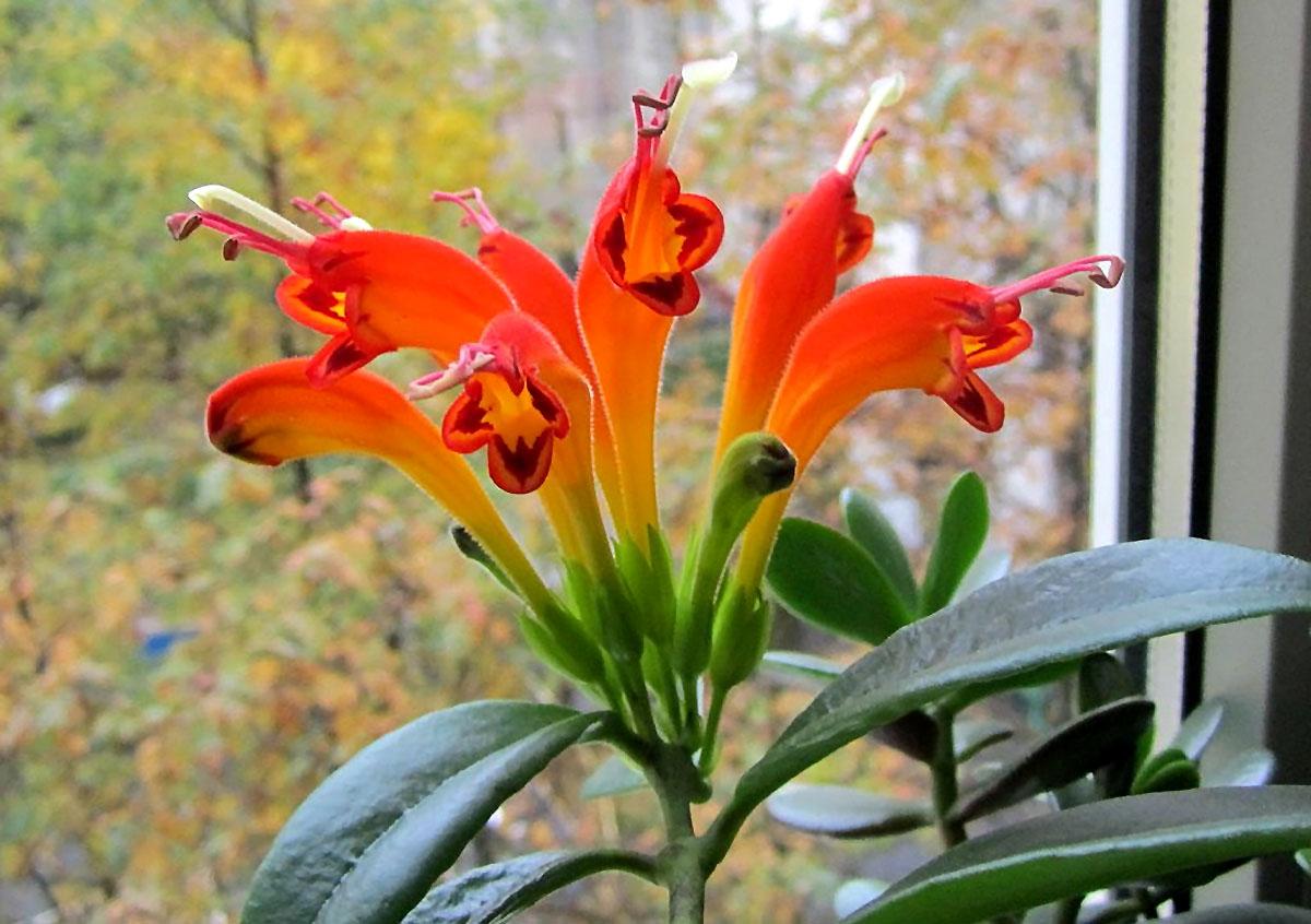 Gėlė kolumnėja