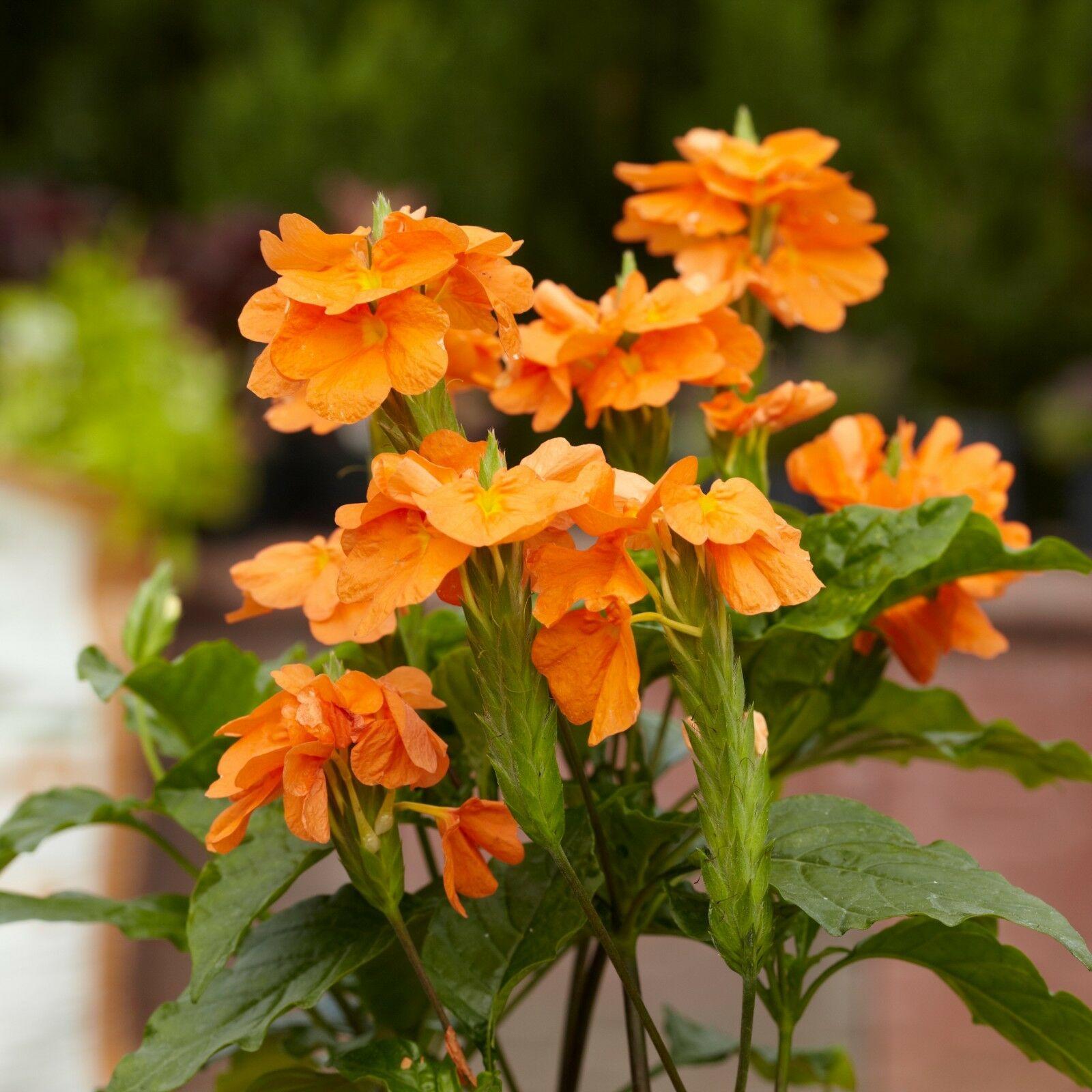 Gėlė krosandra