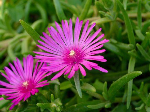 Gėlės nuotrauka. (Pavadinimas: Lamprantas)