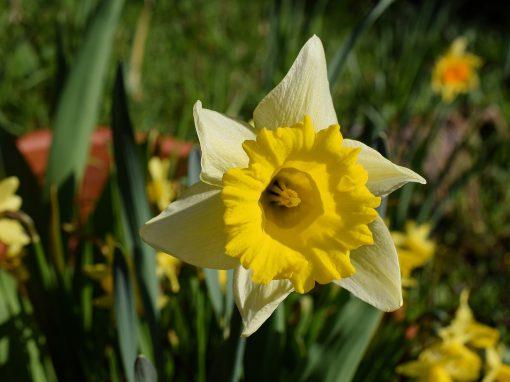 Gėlės nuotrauka. (Pavadinimas: Narcizas)