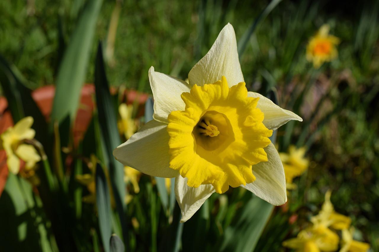 Gėlė narcizas