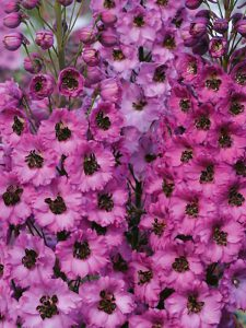 Gėlė pentinius (delphinium)
