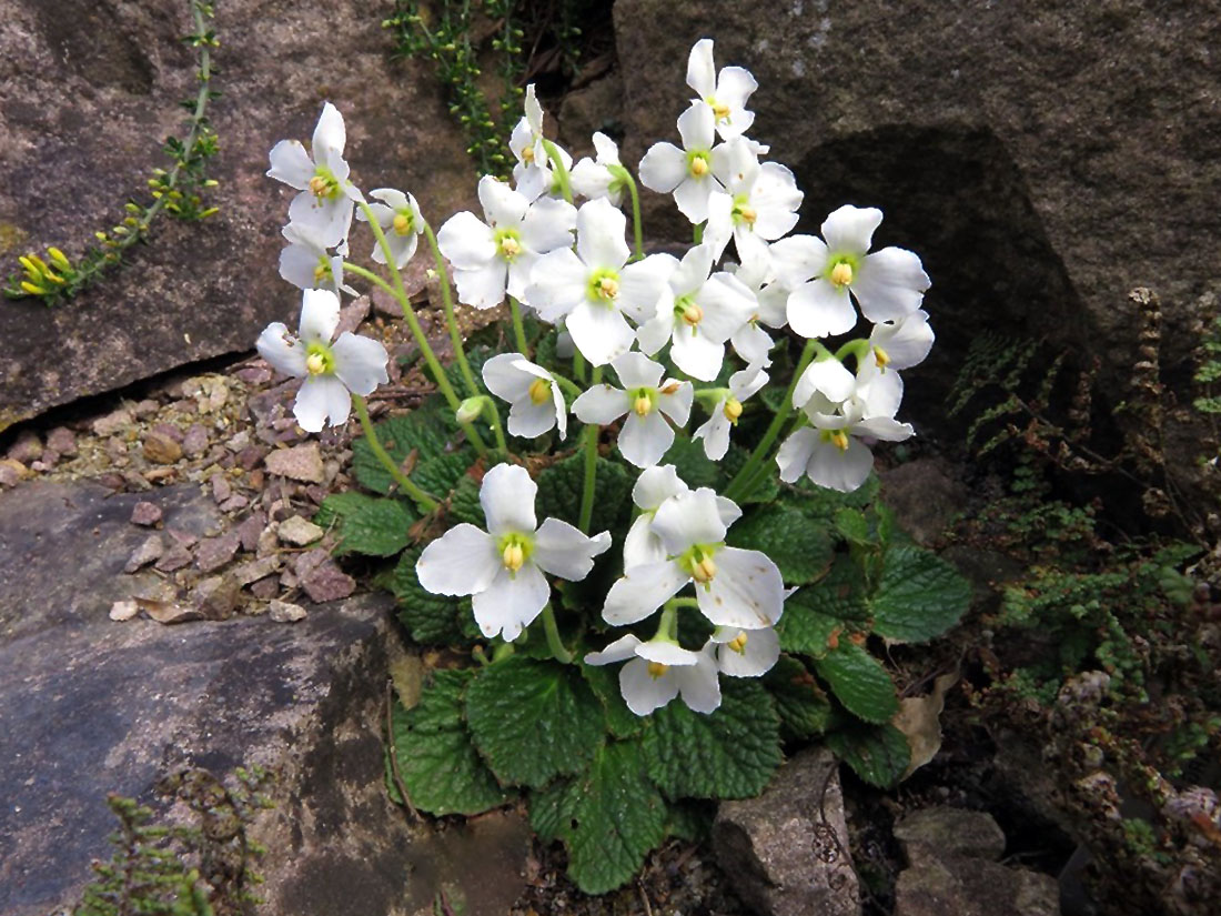 Gėlė ramonda (akmenų alpinariumas)