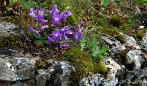 Gėlė ramonda (alpinariumo gėlės)
