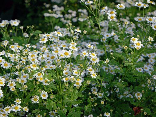 Gėlės nuotrauka. (Pavadinimas: Skaistenis)