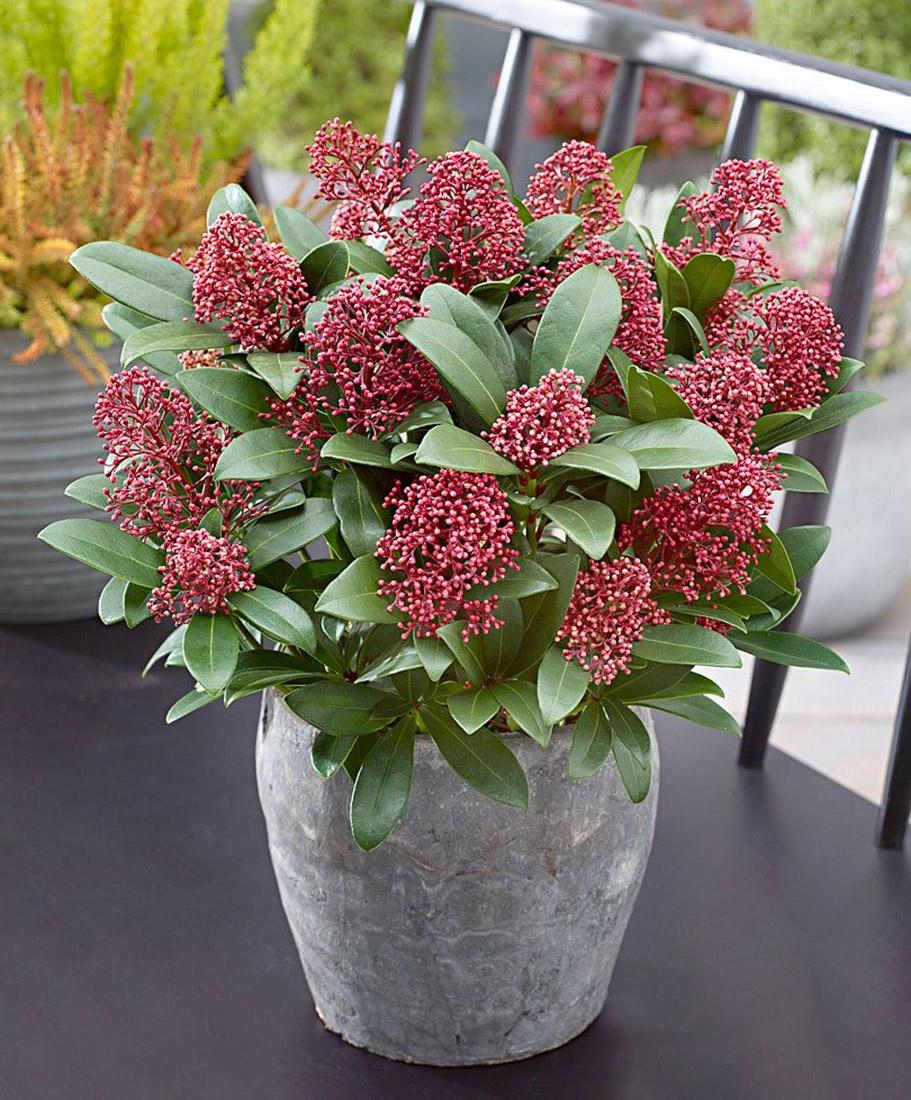 Gėlė skimija