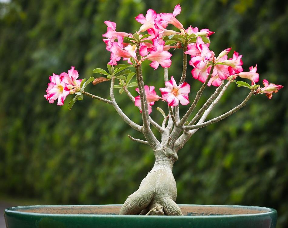 Gėlė Tinūtras