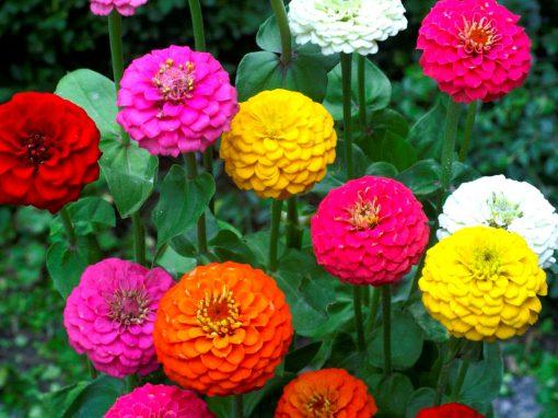 Gėlės nuotrauka. (Pavadinimas: Gvaizdūnė)