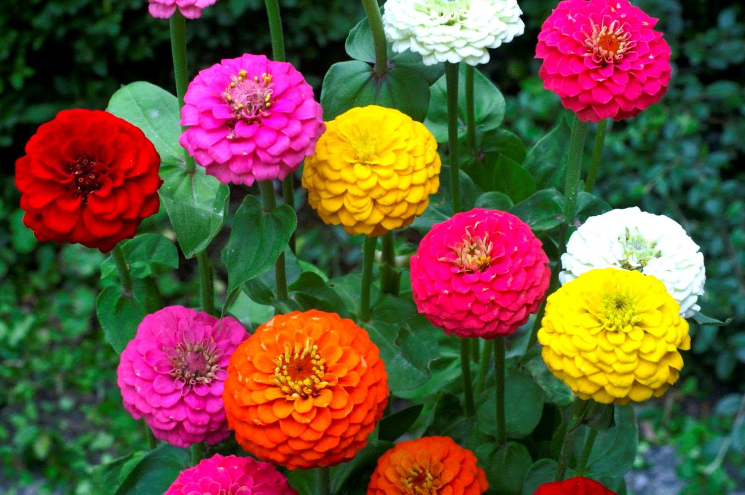 Zinija arba Gvaizdūnė (gėlė)