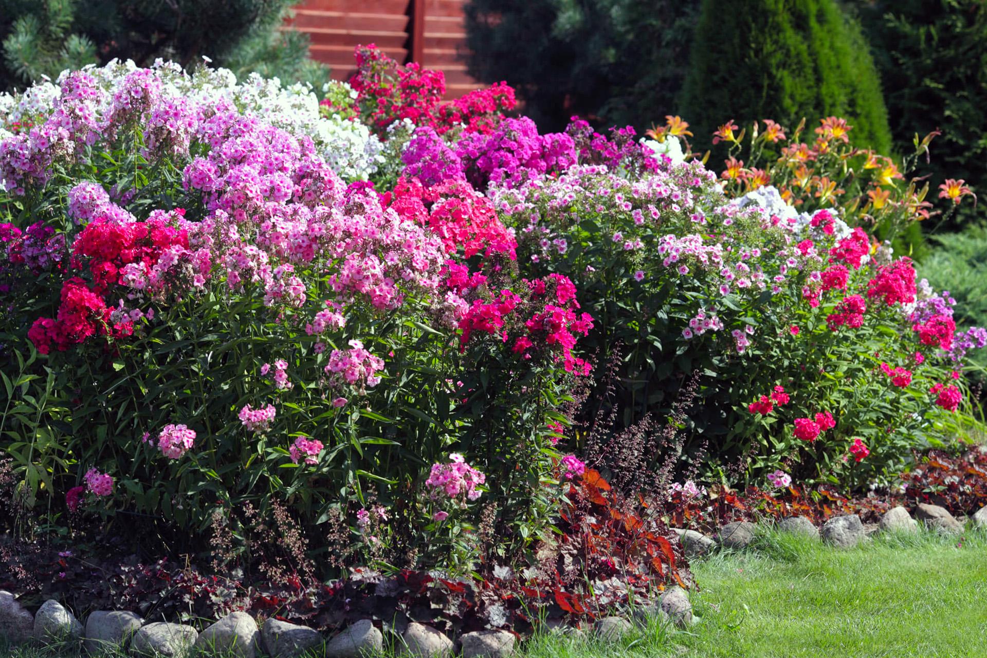 Gėlės flioksai