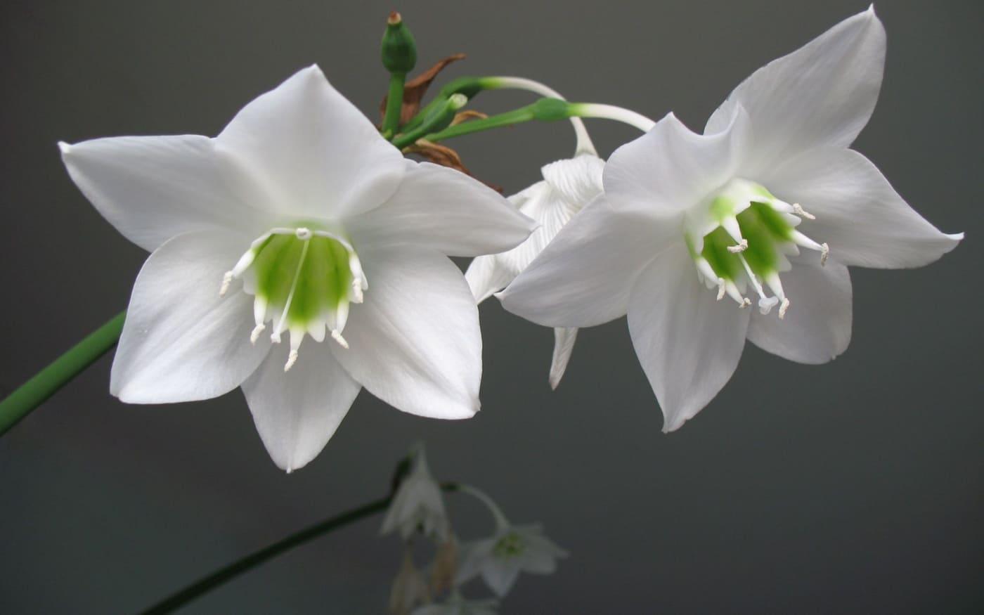 Grakštuolis (Eucharis grandiflora) kambarinė gėlė