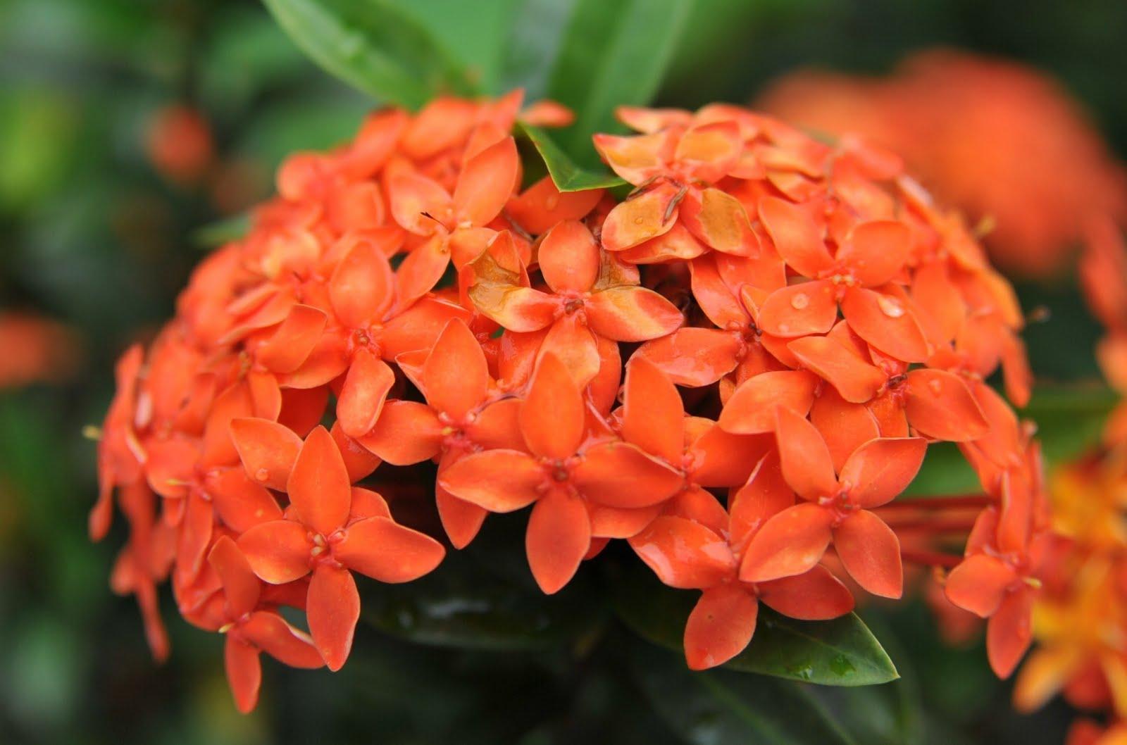Iksora (Oranžinė)