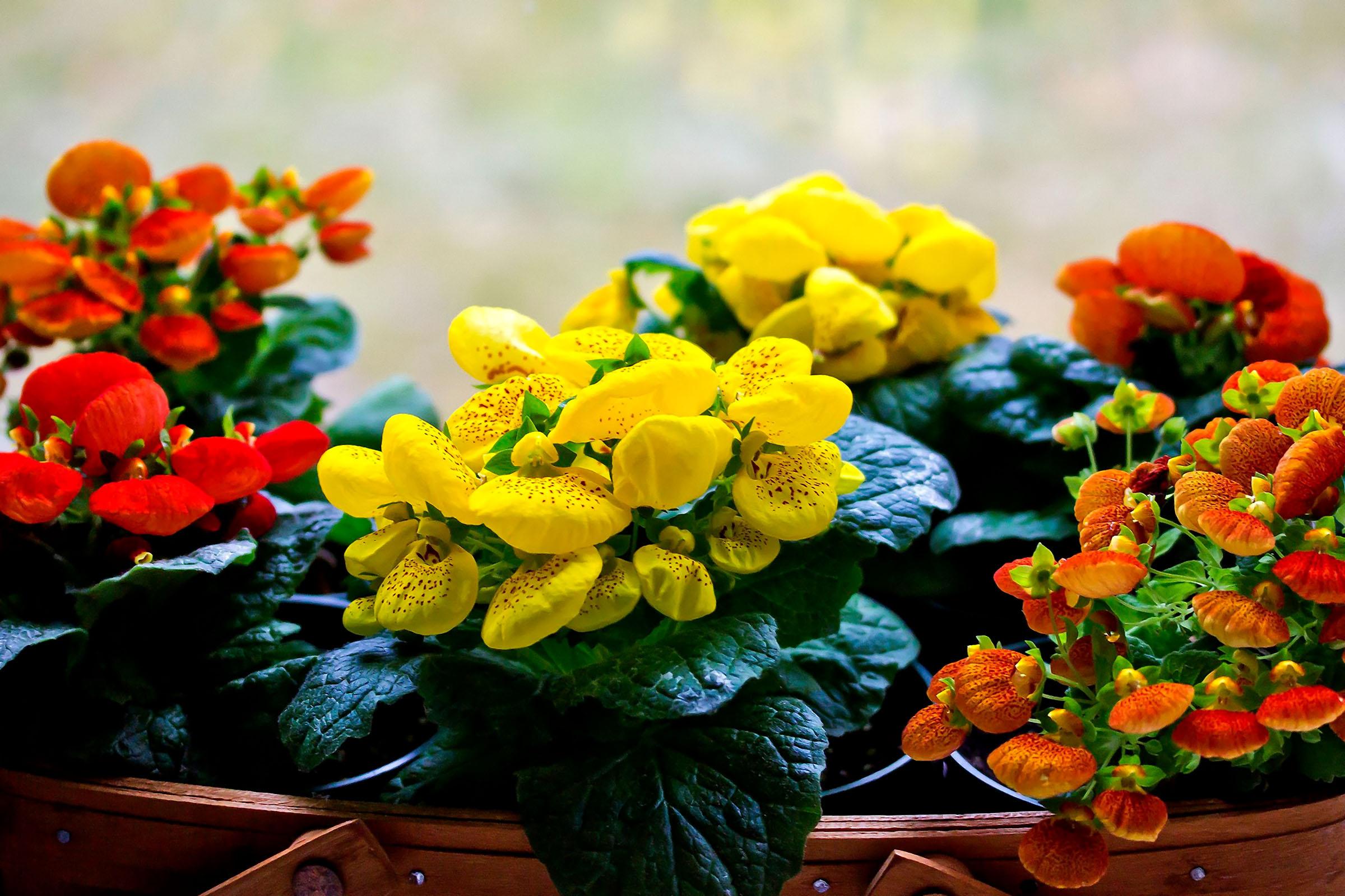Gėlė kalceoliarija