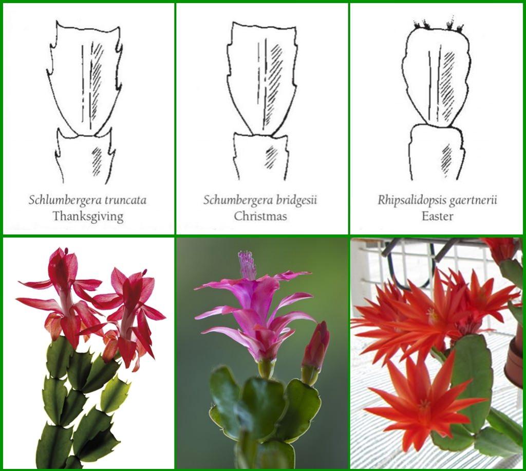 Velykų kaktusas ir kaledų kaktusas