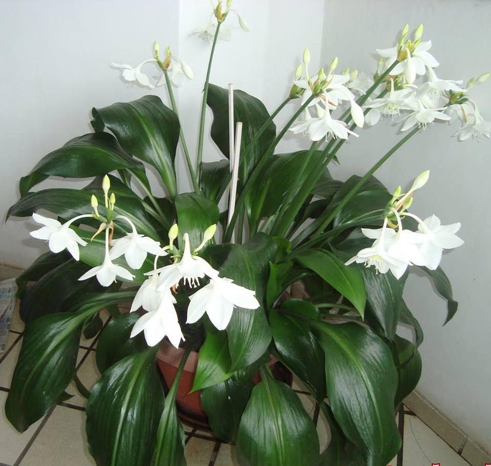 Kambarinė gėlė grakštuolis (eucharis)
