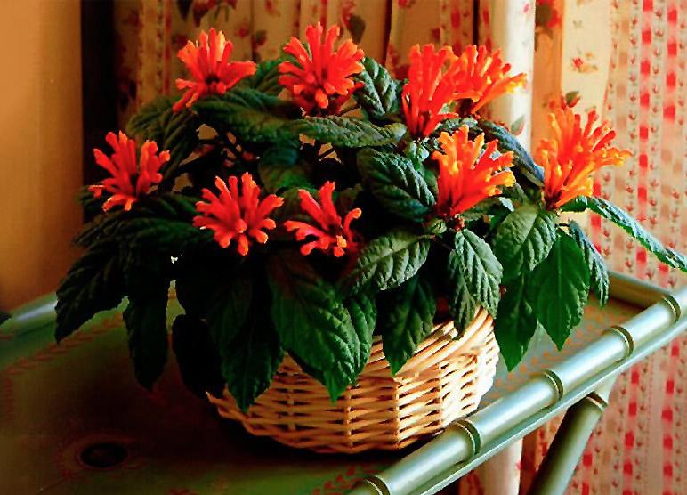 Kambarinė gėlė kalpokė