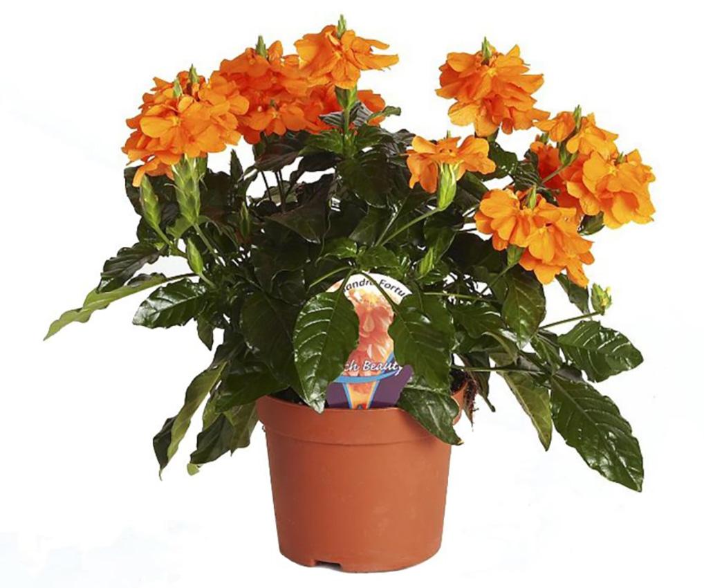 Kambarinė gėlė krosandra
