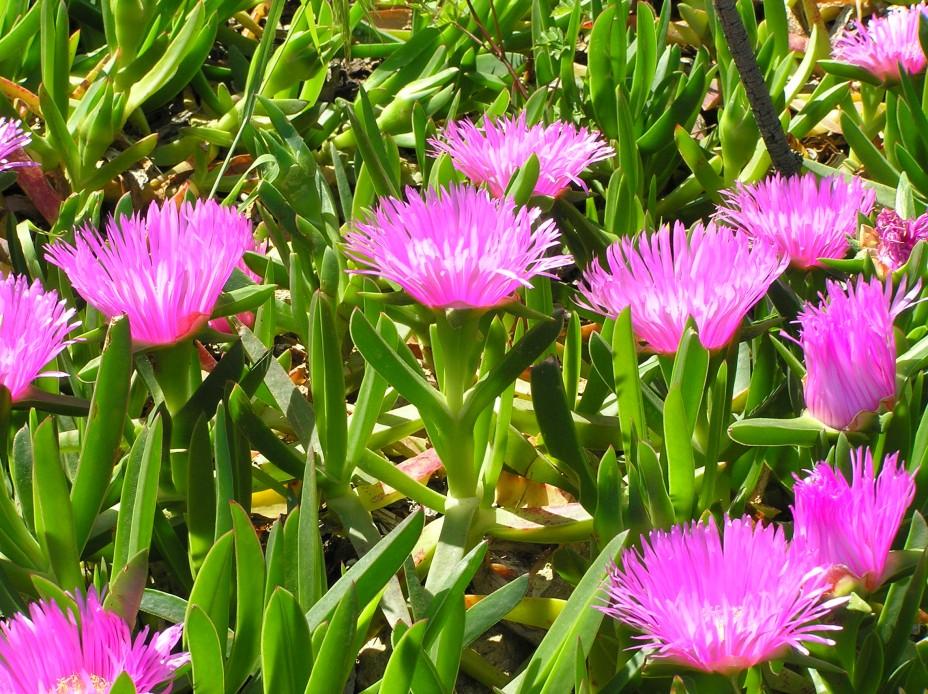 Kambarinė gėlė lamprantas