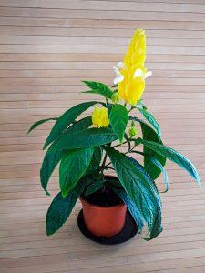 Kambarinė gėlė žvakūnė