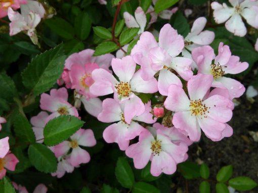 Gėlės nuotrauka. (Pavadinimas: Kininė Rožė)