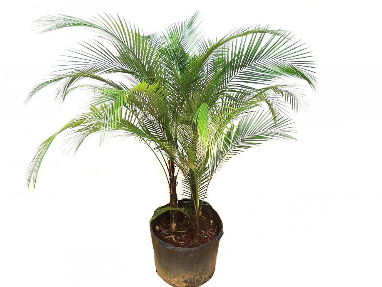 Kokosinė palmė