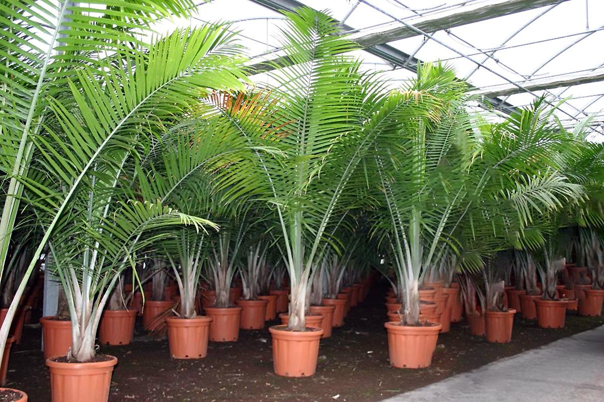 kokoso palmės